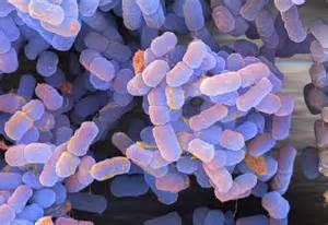 plague bacteria
