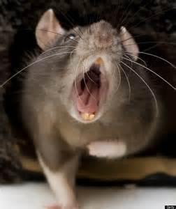 super rat 1