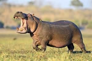 hippo 3